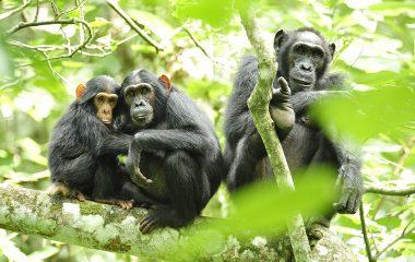 התגלה סוג המוזיקה המועדף על השימפנזים